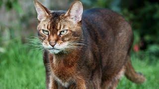 видео Грациозная ориентальная кошка: описание, стандарты породы и цена