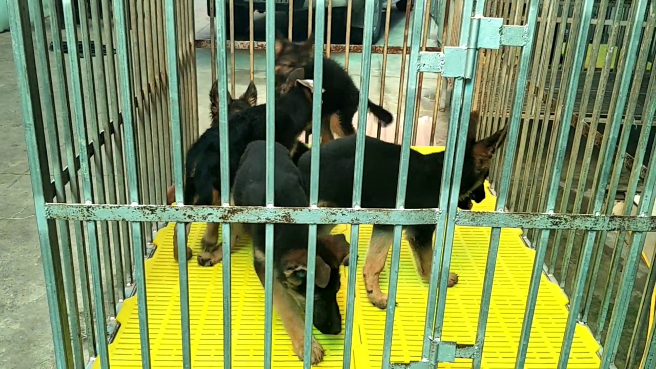 Bán chó becgie đức 3 tháng tuổi- giá 12 tr/em- Lh: 0976.323.111