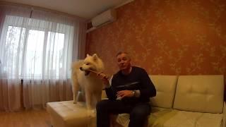 Самоедская собака Питание Стерилизация и гормональный сбой
