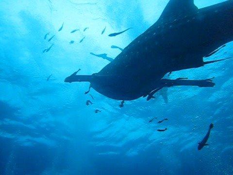 Whale shark pt 4