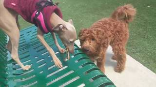 Our Italian Greyhound Puppy Only Plays with Big Dogs: A Compilation