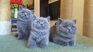 "Британские котята из питомника ""Luxury Tess"" Екатеринбург"