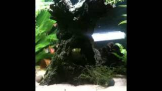 my 33g freshwater tank iphone video
