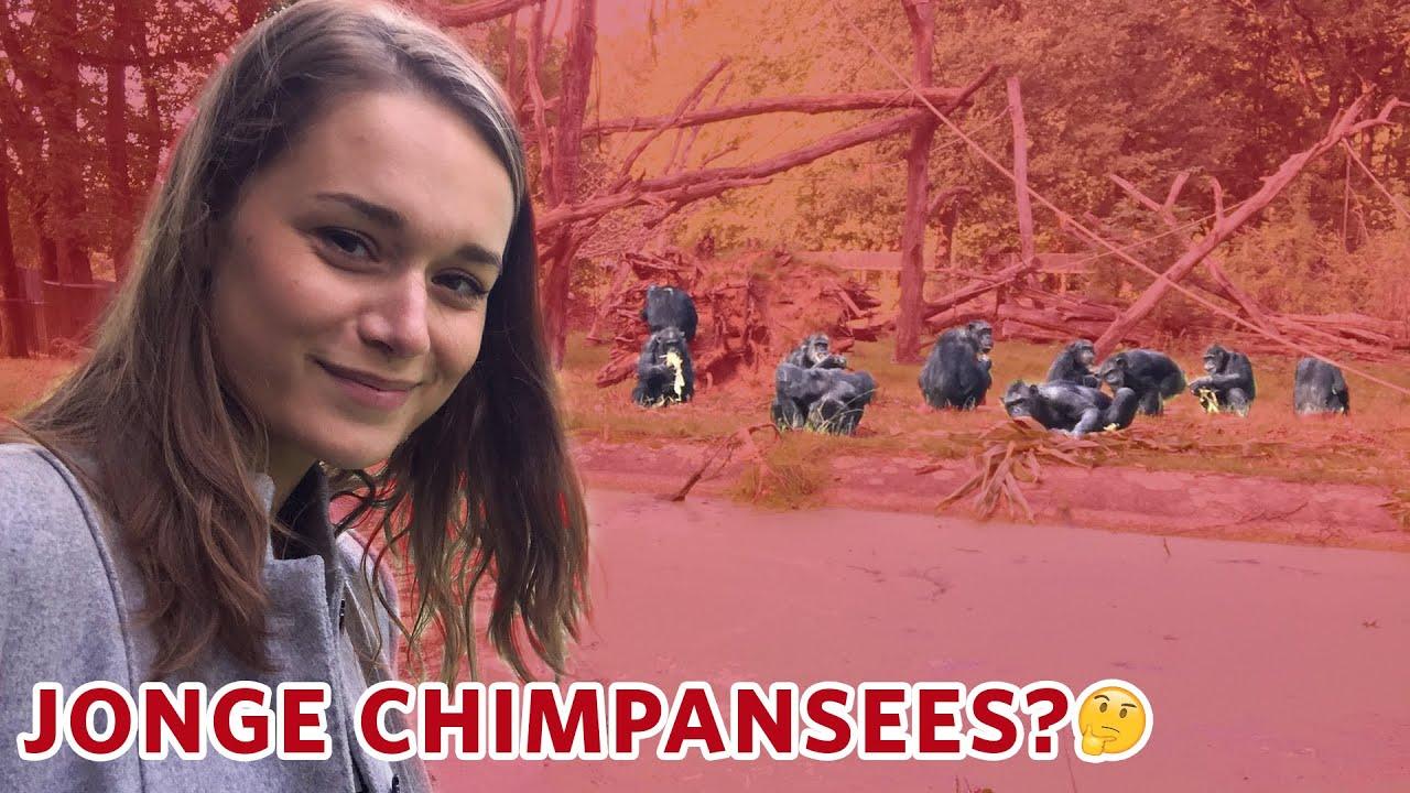 Waarom krijgen de CHIMPANSEES geen JONGEN? 🤔