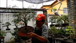 Acumular ou colecionar - Bonsai Shizen ( Ladoso)