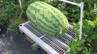 Giant watermelon growing
