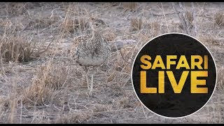 safariLIVE- Sunrise Safari - September 4, 2018