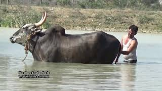 BVS Jallikattu bull Swimming at bukkasagaram !  Haveri don Part 3