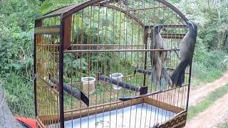 Trinca ferro no mato boiadeiro SHOW DE FIBRA