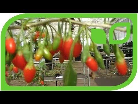 Why do my goji berries not bear fruit (wolfberry, lycium barbarum)