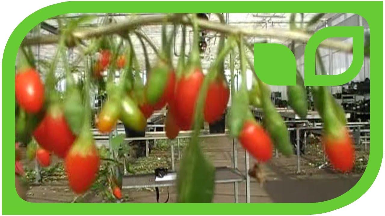 Why Do My Goji Berries Not Bear Fruit Wolfberry Lycium Barbarum