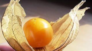 Purifica o Sangue e Aumenta Imunidade – Planta Physalis