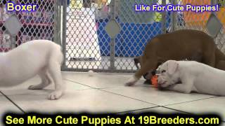 Boxer, Puppies, For, Sale, In, Clifton, New Jersey, Nj, Morris, Passaic, Camden, Union, Ocean, Monmo