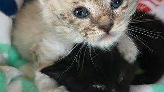 裏庭で見つけた、ノミだらけの2匹のノラの子猫。栄養失調で瀕死の兄弟に寄り添い抱きしめる姿に思わず涙が・・・【nekoの部屋】