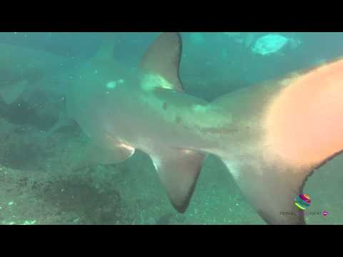Diving with Grey Nurse Sharks Wolf Rock Double Island Point Queensland Australia