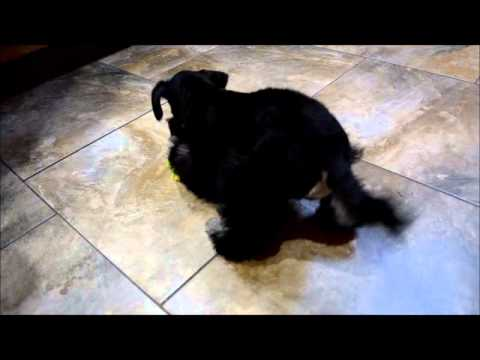 15 week old Miniature Schnauzer Puppy - AVAILABLE NOW
