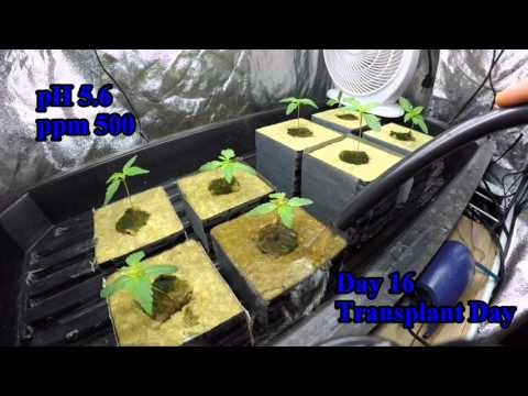 Cannabis Seedlings in Rockwool - Peterborough Hydroponic Centre