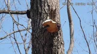 산삼나라 백사모의 2017년 4월 1일 백두산 자작나무 종말굽버섯 산행기 입니다.