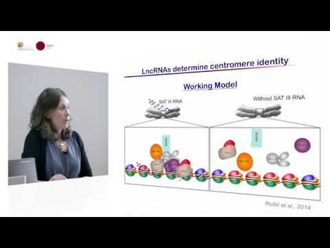 Sylvia Erhardt - A role for RNA in centromere biology and genome integrity