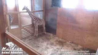 April the Giraffe Cam - Animal Adventure Park thumbnail