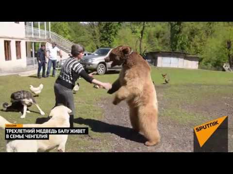 Схватка медведя с