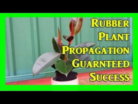 How To Root Rubber Plant From Cuttings