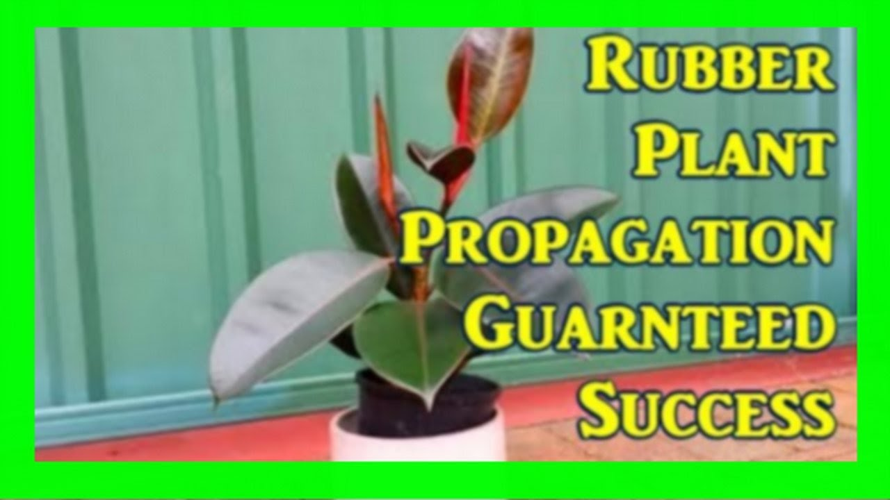 How To Root Rubber Plant From Cuttings: Ficus Propagation Simple Steps - YouTube
