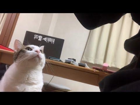 スネる前の鳴き声がかわいい猫