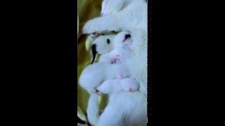 Катя там ангорской кошки несколько часов от рождения