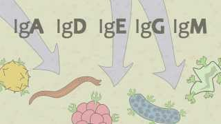 Video 15 Ig Antibodies and Immunoglobulin Function
