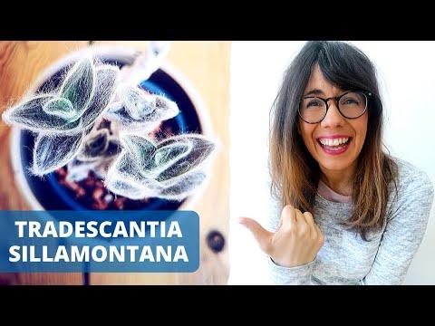 tradescantia-sillamontana-|-white-gossamer-plant-care