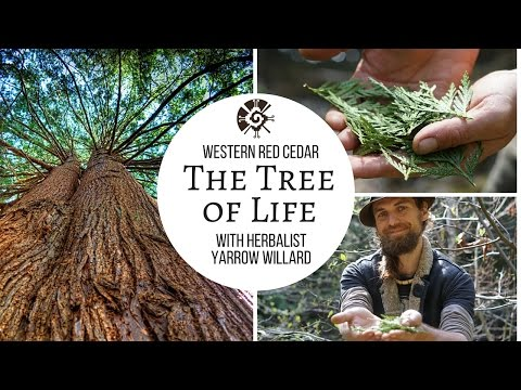 "Cedar ""The Tree of Life""
