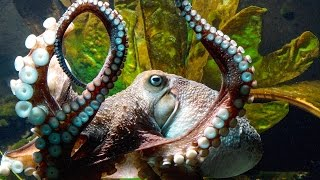Inky the Octopus Escapes From New Zealand Aquarium