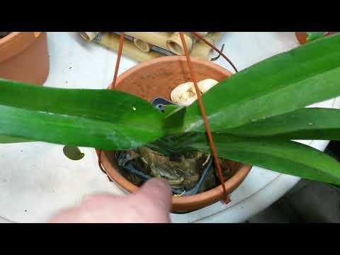Ринхостилис как выращивать и правильно ухаживать . Также моя посадка Rhynchostylis