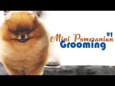 Mini Pomeranian Dog - Grooming | Cutest Dogs #1