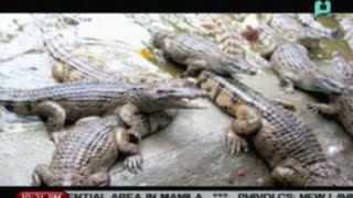 NewsLife: PH croco farms export meat to Russia || Oct. 20, 2014