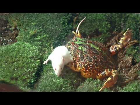 Pacman Frog Eats A Big Mouse Slow Motion