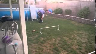 Cocker Spaniel Merle Salem Starting Her Agility Training