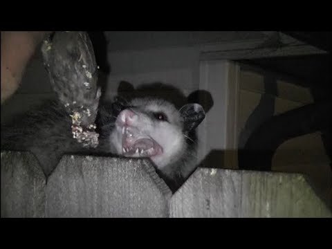 OPOSSUM IN MY BACKYARD<a href='/yt-w/6AKkdJIROIQ/opossum-in-my-backyard.html' target='_blank' title='Play' onclick='reloadPage();'>   <span class='button' style='color: #fff'> Watch Video</a></span>