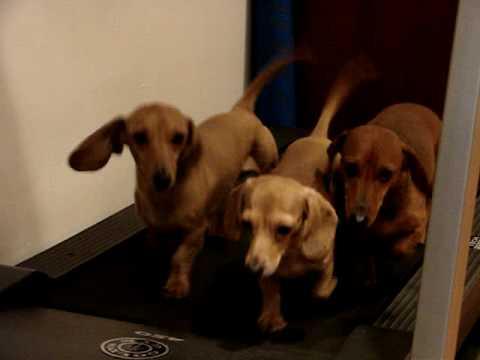 3 Dachshund Dogs on a Treadmill
