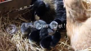 Wylęganie kurczaków odc. 4 - JUŻ SĄ!