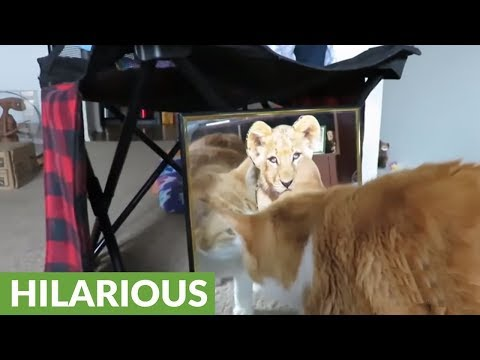 Curious cat attempts to make contact with mirror reflection