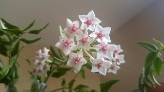 New Hoya Bella from Lucythecat