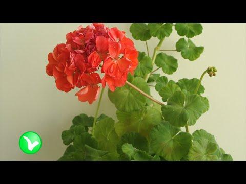 Герань комнатная — польза и вред, лечебные свойства растения.