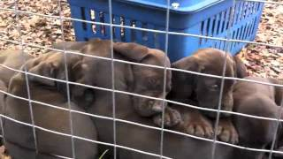 6 Week Old Liver German Shorthaired Pointers