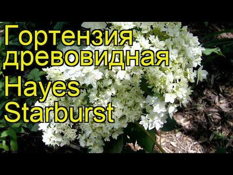 Гортензия древовидная Хайес Старбёрст. Краткий обзор, описание hydrangea arborescens Hayes Starburst