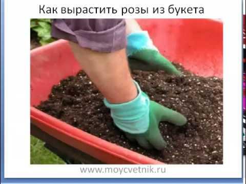 Как вырастить розу из букета. Мастер-класс бесплатно!!!