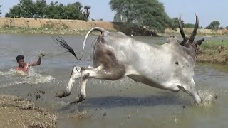 Dasanapuram Jallikattu bull running and swimming of Santhosh