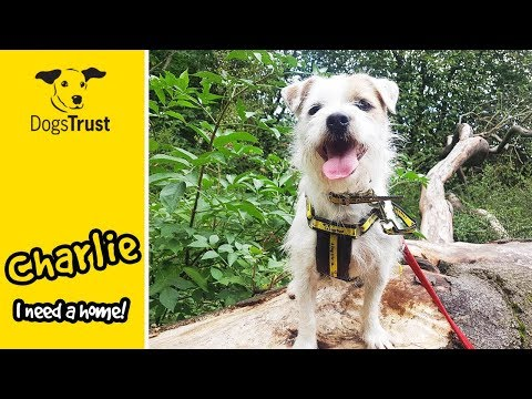 Charlie the Shih Tzu is a Very Clever Boy Who Loves to Learn! | Dogs Trust Darlington