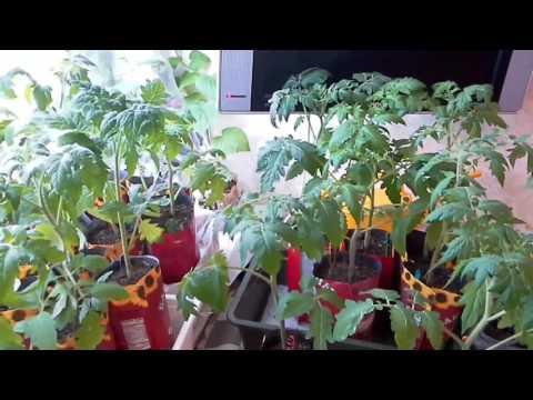 4 апреля,перевозка рассады томатов на дачу,сложный период в выращивании